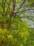 Folha verde no ramo de árvore Imagens de Stock Royalty Free