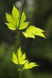 Folha verde no tempo de mola Fotos de Stock Royalty Free