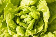 Folha verde nova da alface. Imagens de Stock
