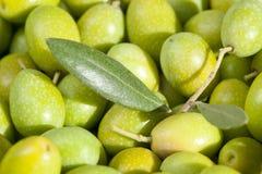 Folha verde-oliva e azeitonas verdes, acima do fim Imagem de Stock Royalty Free