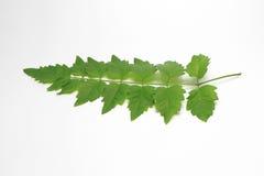 Folha verde para fora em Tailândia Fundo branco Imagem de Stock Royalty Free