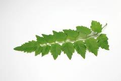 Folha verde para fora em Tailândia Fundo branco imagens de stock