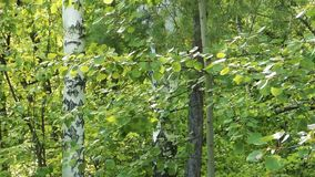 Folha verde que move sobre o vento, árvore de vidoeiro atrás filme