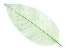 Folha verde secada isolada no branco Foto de Stock