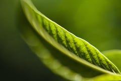 Folha verde sob a luz Fotos de Stock Royalty Free