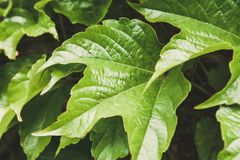 A folha verde suculenta planta uvas de menina Foto de Stock Royalty Free