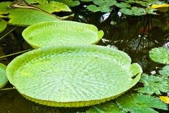 Folha verde tropical Fotos de Stock