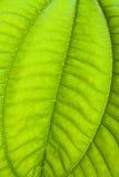 Folha verde tropical - fundo abstrato Fotografia de Stock