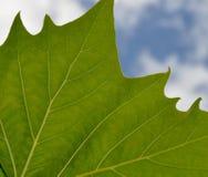 Folha verde: Veias Fotografia de Stock Royalty Free