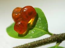Folha verde vermelha do caviar Imagens de Stock Royalty Free