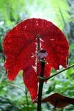 Folha vermelha Imagem de Stock