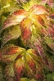 Folha vermelha, amarela e verde no fim do coleus acima da vista fotos de stock