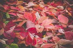 Folha vermelha bonita do outono na terra Imagens de Stock
