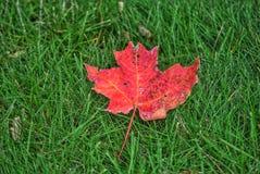 Folha vermelha caída na grama verde imagem de stock
