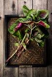 Folha vermelha chinesa orgânica dos espinafres Fotos de Stock