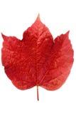 Folha vermelha da hera Fotografia de Stock Royalty Free
