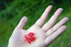 Folha vermelha de Glenariff Forest Park na mão imagens de stock