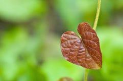 Folha vermelha do coração Fotos de Stock