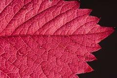 Folha vermelha do outono Imagem de Stock