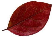 Folha vermelha do outono Fotografia de Stock