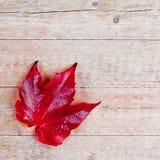 Folha vermelha do outono Fotos de Stock Royalty Free