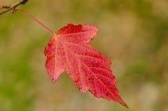 Folha vermelha do outono do close up única imagem de stock