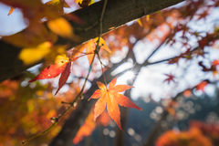 A folha vermelha do outono iluminou-se acima pela luz do sol em Obara, Nagoya, Japão Imagens de Stock