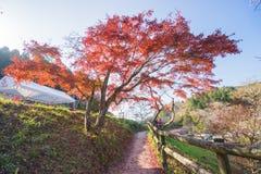 A folha vermelha do outono iluminou-se acima pela luz do sol em Obara, Nagoya, Japão Imagem de Stock