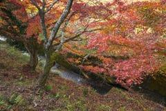 A folha vermelha do outono iluminou-se acima pela luz do sol em Obara, Nagoya, Japão Fotografia de Stock Royalty Free