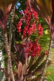 Folha vermelha havaiana do Ti e bagas vermelhas fotos de stock