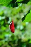 A folha vermelha pendura na Web entre as folhas verdes fotos de stock royalty free