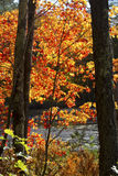 Folhagem de outono brilhante em Quincy Bog, New Hampshire imagem de stock royalty free