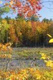 Folhagem de outono dramática em Quincy Bog, New Hampshire fotografia de stock royalty free