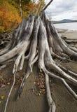 Folhagem de outono e coto velho na costa do lago flagstaff fotografia de stock