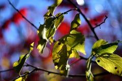Folhas 1 de Sumac Fotografia de Stock Royalty Free