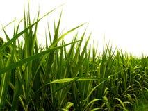 Folhas 1 do açúcar Imagens de Stock