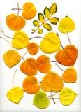 Folhas 2 da queda Foto de Stock Royalty Free