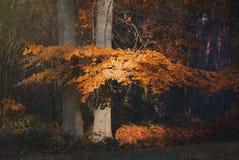 Folhas alaranjadas bonitas na floresta da queda imagem de stock