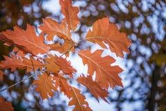 Folhas alaranjadas do carvalho Fotos de Stock Royalty Free