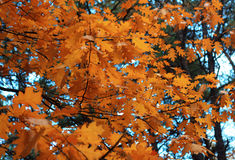 Folhas alaranjadas do carvalho Imagens de Stock