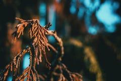 Folhas alaranjadas do cipreste foto de stock royalty free