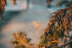 Folhas alaranjadas do cipreste imagem de stock