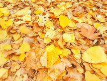 Folhas amareladas das árvores de folhas mortas em um cenário do outono fotografia de stock