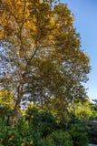 Folhas amareladas em uma árvore do sicômoro no jardim botânico de Sochi Rússia imagem de stock royalty free
