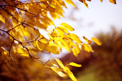 Folhas amarelas Fotos de Stock Royalty Free