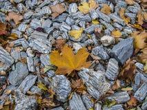 Folhas amarelas brilhantes na superfície rochosa no outono fotografia de stock