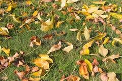 Folhas amarelas da árvore de faia da queda no gramado da grama Foto de Stock