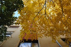 Folhas amarelas da árvore no outono fotografia de stock