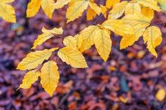 Folhas amarelas da faia Fotos de Stock Royalty Free