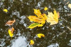 Folhas amarelas de flutuação da árvore de bordo na poça fotos de stock